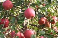 長野県産リンゴ 画像